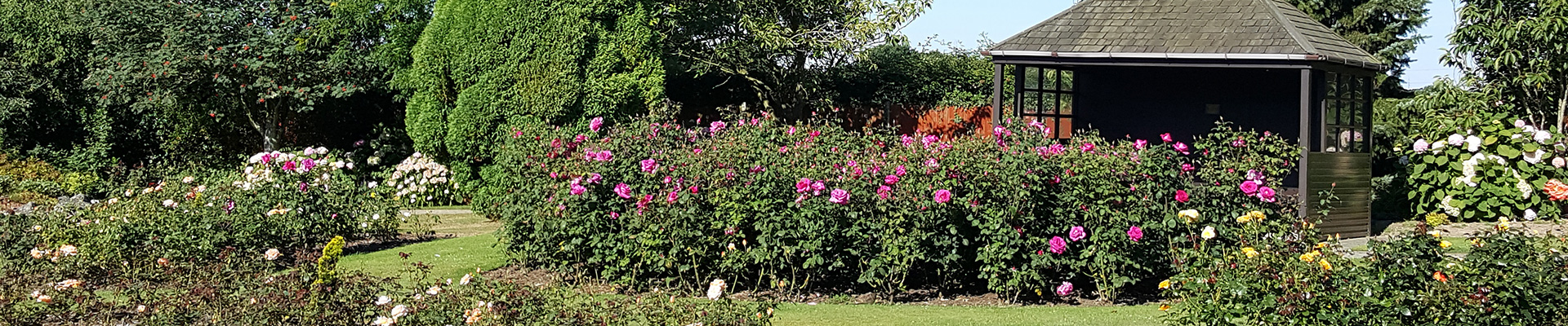 Photograph of flowering roses in the crematorium gardens