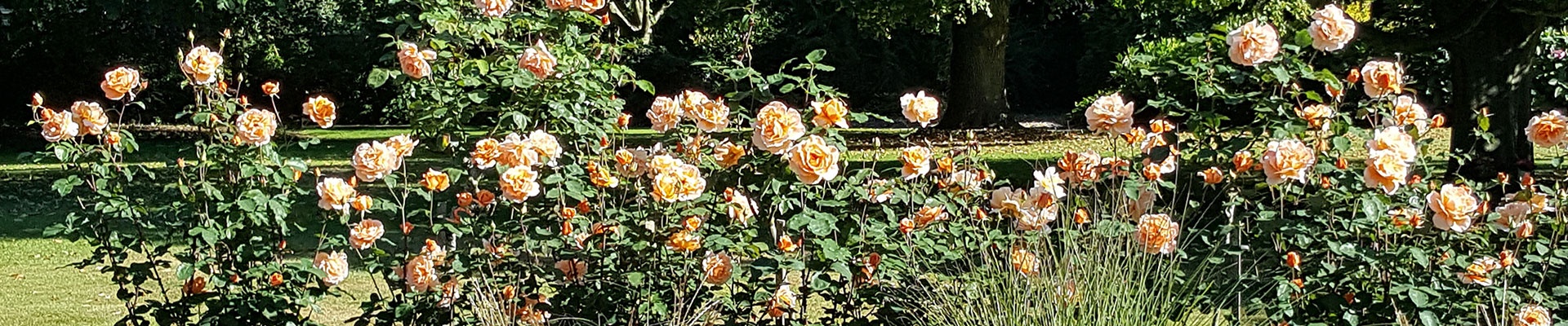 Photograph of orange flowering roses in the crematorium gardens