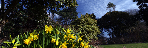 Photograph of flowering daffodils